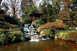 Large Koi Pond with backdrop of beautiful rocks tress and other foliage.